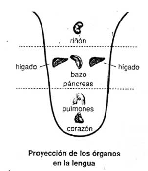 Resultado de imagen de lengua organos