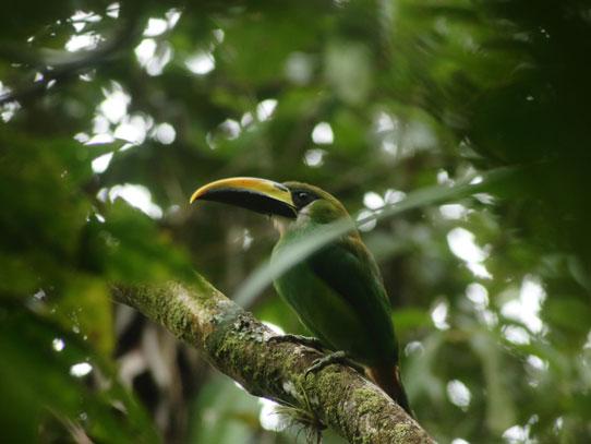 Tucaneta, especie que se puede observar en el Bosque Nuboso. Foto: Jorge Rodríguez/Viatori