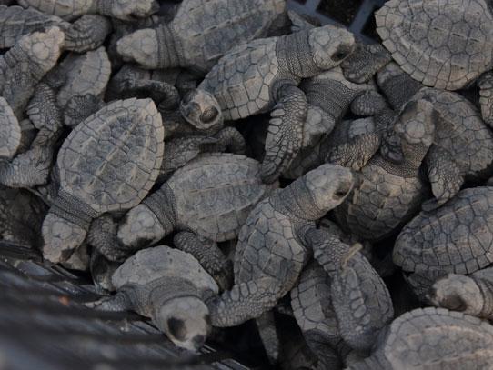 Si nacen por la noche, las nuevas tortugas son liberadas temprano en la mañana. Foto: Jorge Rodríguez/Viatori