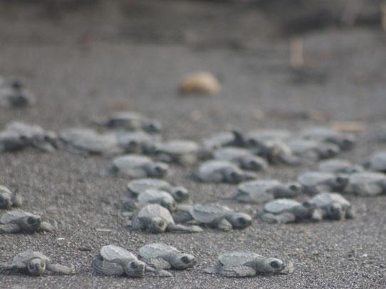 Instintivamente buscan el mar en donde pasarán casi toda su vida. Foto: Jorge Rodríguez/Viatori