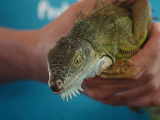 CONAP realiza liberaciones de diferentes especies en peligro constantemente. Foto: Jorge Rodríguez/Viatori