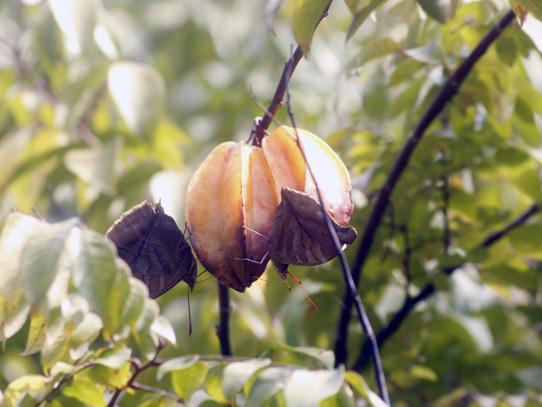 Fruto llamado carambola, se usa para la preparación de frescos y dulces. Foto: Jorge Rodríguez/Viatori