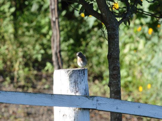Eastern bluebird. Foto: Jorge Rodríguez/Viatori