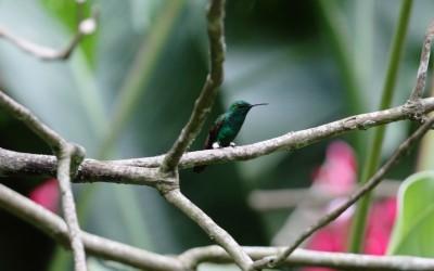 Berylline Humming Bird. Foto: Jorge Rodríguez/Viatori
