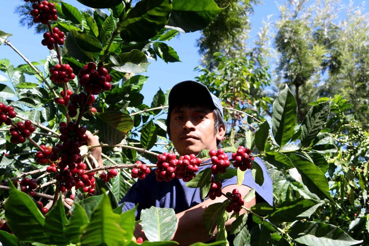 El cultivo del café es uno de los pilares principales de la economía de varios países en América Latina.