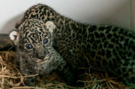 el jaguar y su protección
