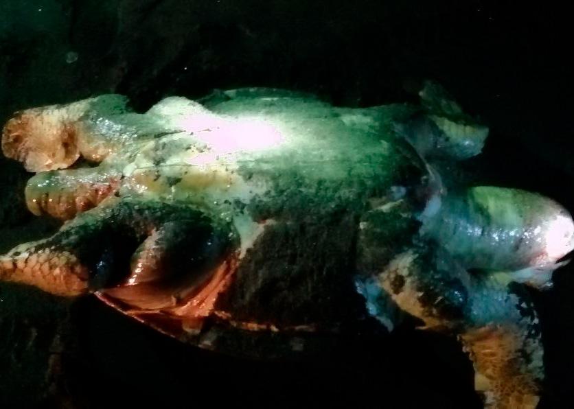 la pesca de arrastre causa la muerte de las tortugas